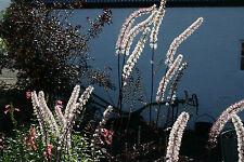 Actaea simplex (Atropurpurea Group) 'Black Negligee'- hardy perennial plant