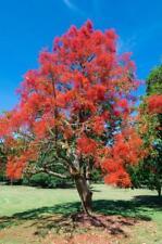 Bottle Tree 5 Seeds (Brachychiton Rupestris) Bonsai/House plant/garden