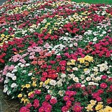 Moss Rose Mix- 200 Seeds- BOGO 50% off SALE