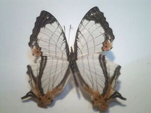 Real Dried Insect/Butterfly/Moth Non set B7029 Rare Cyrestis camillus x 1