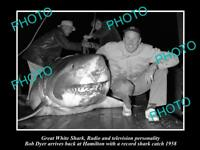 OLD LARGE HISTORIC PHOTO OF GREAT WHITE SHARK BEEN CAUGHT BY BOB DYER c1958