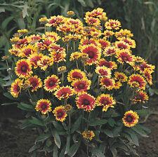 Flower - Gaillardia Goblin - Appx 150 seeds - Hardy perennial