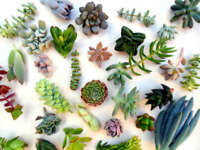 12 Succulent Cuttings & Rosettes Assorted live for Propagation/Rooting*Easy root