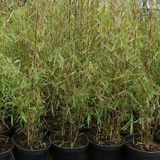 4 x Fargesia 'Jiuzhaigou' Bambou pot 3 liter 80 cm