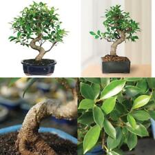 Bonsai Golden Gate Ficus Tree Foliage Plant 7 Years Tropical Indoor Houseplant