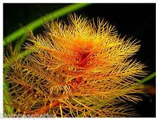10 RED Water Milfoil Live aquarium plant fern Myriophyllum Tuberculatum cabomba