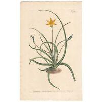 Curtis Botanical Magazine antique 1804 hand-colored engraving Pl 709 Hypoxia