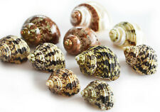 """10 Deluxe Hermit Crab Changing Shell Set (Med) 5/8-1"""" open Select Natural Turbo"""