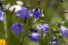 Rundblättrige Glockenblume 50 Samen  Campanula Rotundifolia
