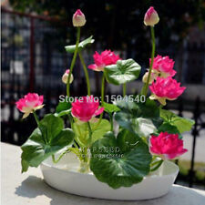 20pcs lotus flower,lotus seeds,Aquatic plants Water Plants water lily flower