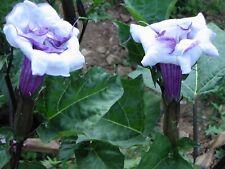 Datura BALLERINA BLUE 15 Samen Engelstrompete  blau doppelte Blüte Duftpflanze