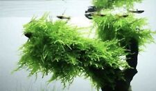 Live Christmas (Xmas) Moss - Live Aquarium Plant, Fish Tank