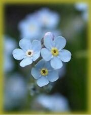 Forget-Me-Not (Myosotis Sylvatica) - 500 seeds