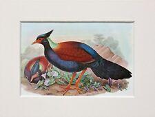Sol Pigeon BIRD-monté Vintage John Gould Imprimé, 1960 S Livre Plaque