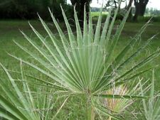 Washingtonia filifera - California Fan Palm - 10 Seeds