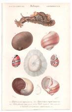 1849 impresión Original MOLUSCOS CONCHAS por Ch. ejemplares, Atlas volumen 3