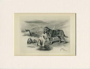 OTTERHOUND RARE 1894 ANTIQUE DOG PRINT by ARTHUR WARDLE READY MOUNTED