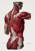 ML25 Vintage 1800's Medical Human Back Body Muscles Anatomy Poster RePrint A2/A3
