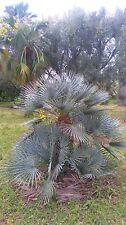 jeune chamaerops var cerifera de 4 à 5 feuilles