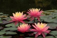 Sunfire  water lily - pond plants water lilies aquatic plants