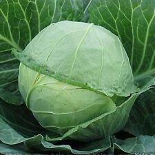Cabbage Ukrainian Autumn Seeds Organically Grown Heirloom Vegetable NON GMO