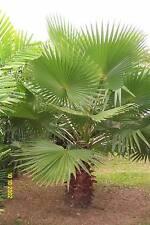 Washingtonia Palme -  5 Jungpflanzen  -  Wahingtonia Robusta  - jetzt pflanzen