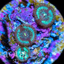 New listing Asd - 034 Magic Mermaids Zoanthids - Wysiwyg - Aqua Sd Live Coral Frag