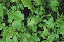 Green Manure - Mustard White Tilney 50 grammes