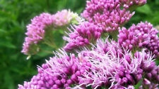 1x Eupatorium cannabinum Hemp agrimony Native Pond pollinator Bat shade plant