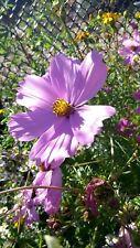 Cosmos flower seeds