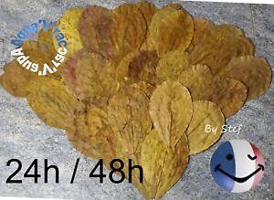 Feuilles de Catappa feuille AAA+ 20-35cm Betta Crevette Discus express 24/48H !
