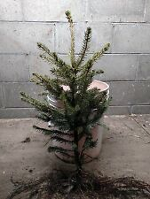 """New listing 15 Fast Growing Norway Spruce Trees 24""""-30""""! Fall Planting - Oct. Shipping!"""