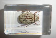 White Scarab Beetle Cyphochilus crataceus Clear Block Education Insect Specimen