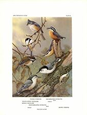 """1960 Vintage """"TITMOUSE NUTHATCH CHICKADEE"""" by BROOKS GORGEOUS Lithograph 56"""