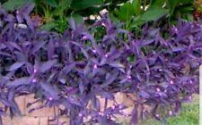 6 Cuttings Purple Heart Queen Wandering Jew - Tradescantia Plant