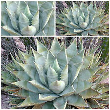 50 graines Agave cerulata subsp. nelsonii, seeds succulents F
