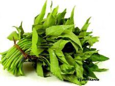 100+ Graines Ipomoea aquatica ,'kangkong' water spinach seeds samen