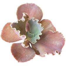 Echeveria Bittersweet Pink Purple Ruffle Scallop Curly Succulent (4 inch pot)