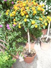 Lantana Hochstamm mit Blüten (ca. 110-120 cm) verschiedene Farben