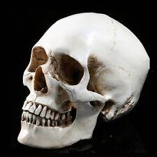 1x White Lifesize 1:1 Resin Human Skull Replica Model Medical Realistic Skeleton