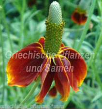 präriezapfenblume CHAPEAU MEXICAIN Jardin paysan RATIBIDA 80 graines FRAIS