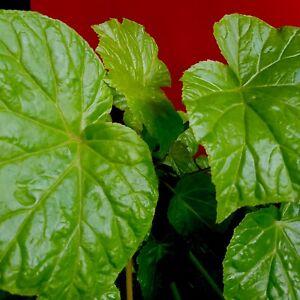 Begonia Convolvulacea ** Grape leaf ** Indoor shade tropical foliage plant