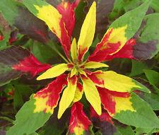 AMARANTHUS PERFECTA Amaranthus Tricolor - 1,000 Bulk Seeds