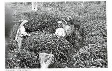 India,Ceylon,Young Girl Picking Tea Leaaves,Ethnic,c.1930s