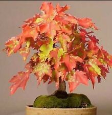Acer Grosseri! one of the most beautiful maples! ideal bonsai tree to! seeds