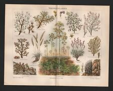 Chromo-litografía 1897: steppenpflanzen. Stipa tenacissima sarcocaulon rigidum