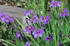 Sisyrinchium bellum - Blue Eyed Grass - 20 Seeds