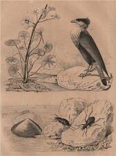 Capsa (Asaphis deflorata). Nasturtium. Carabidae (groud beetles). Caracara 1834