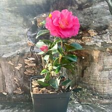Camellia Sasanqua Kanjiro Live Plant Pink Petal Bloom