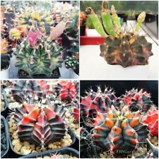 Cactus Gymnocalycium variegata Seeds Mixed succulent garden Rare : 100 seeds